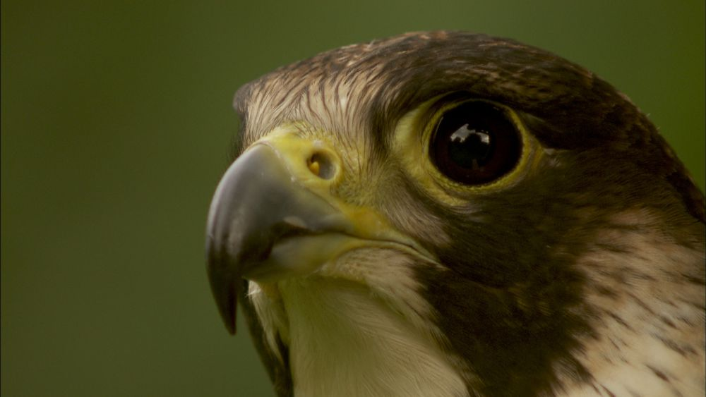 Mit Falken Jagen - Der Falke Nah (c) LOOKSfilm