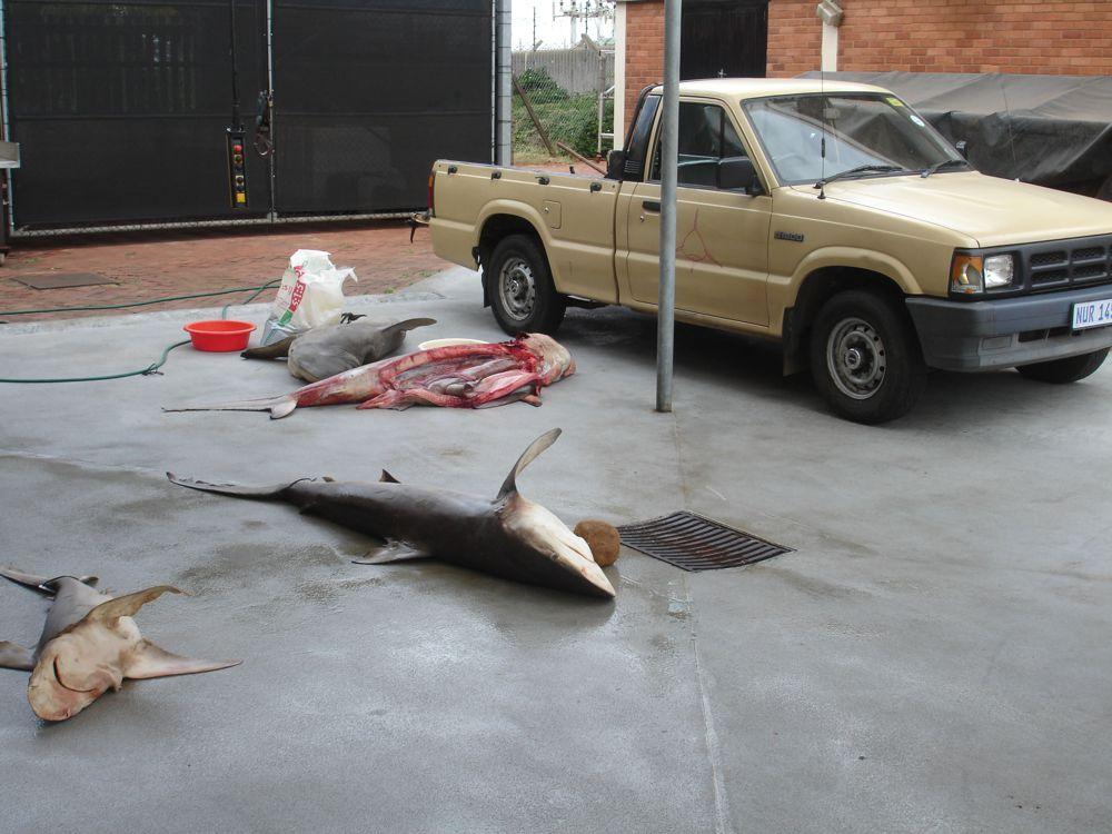 Of Sharks and Man - Dead Shark (c) LOOKSfilm