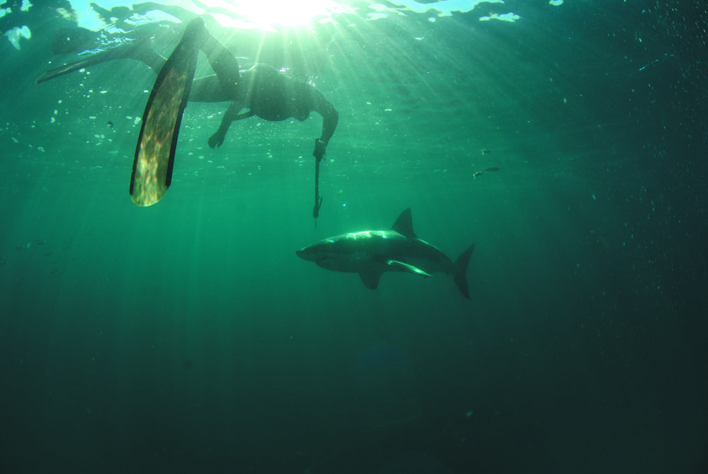 Of Sharks and Man - Diver with Great White (c) LOOKSfilm