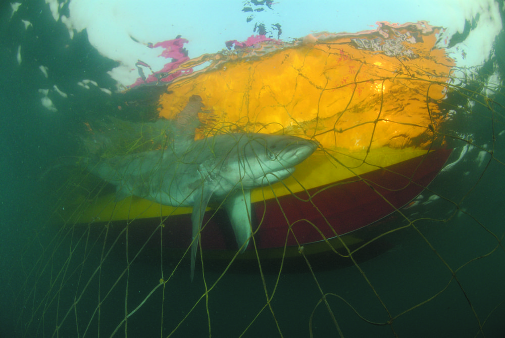 Of Sharks and Man - Shark in the Net (c) LOOKSfilm